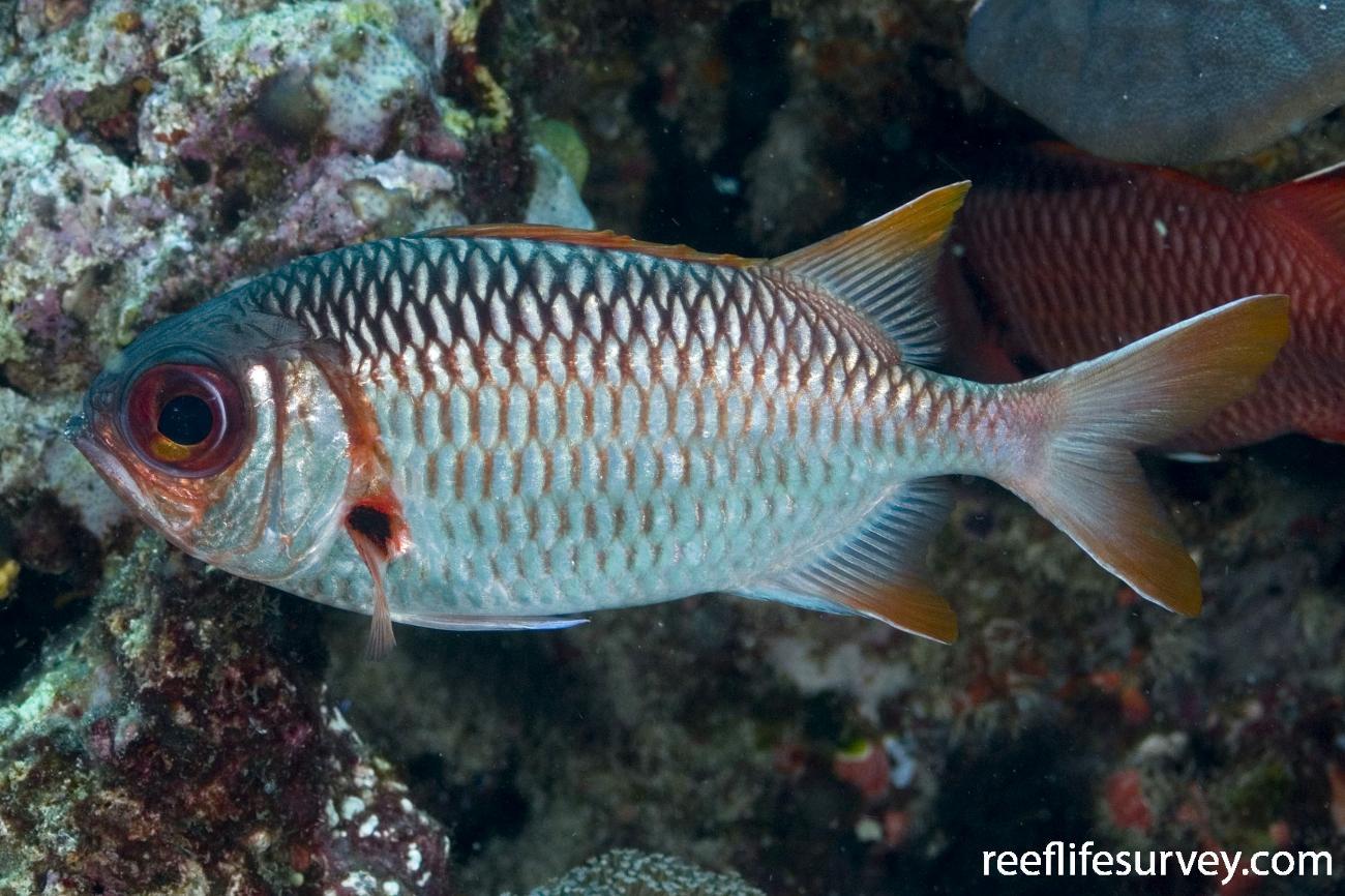 Myripristis violacea, Coral Sea, QLD,  Photo: Andrew Green