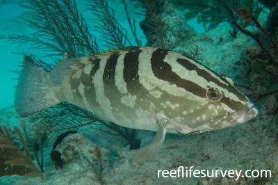 Epinephelus striatus: Turks & Caicos,  Photo: Rick Stuart-Smith