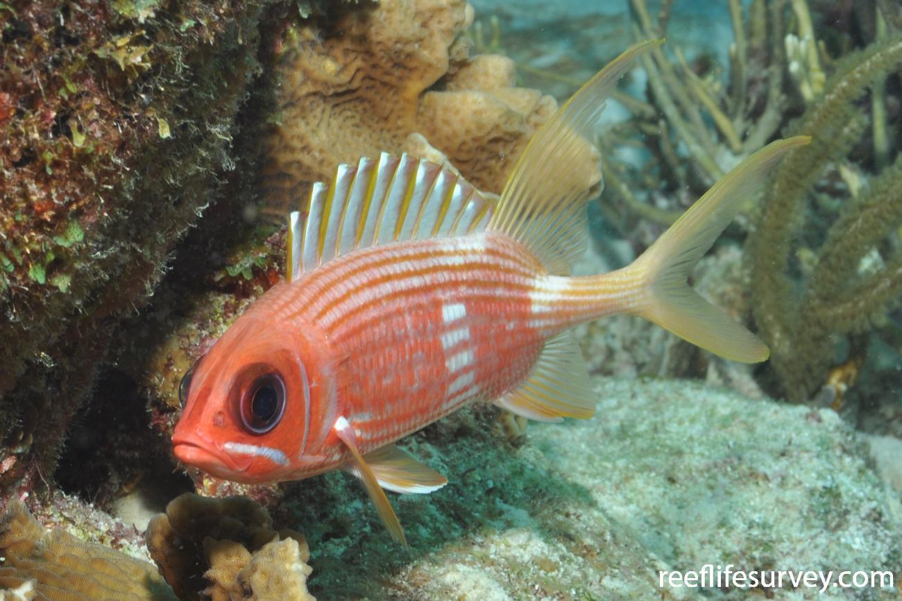 Holocentrus rufus, Bonaire,  Photo: Rick Stuart-Smith