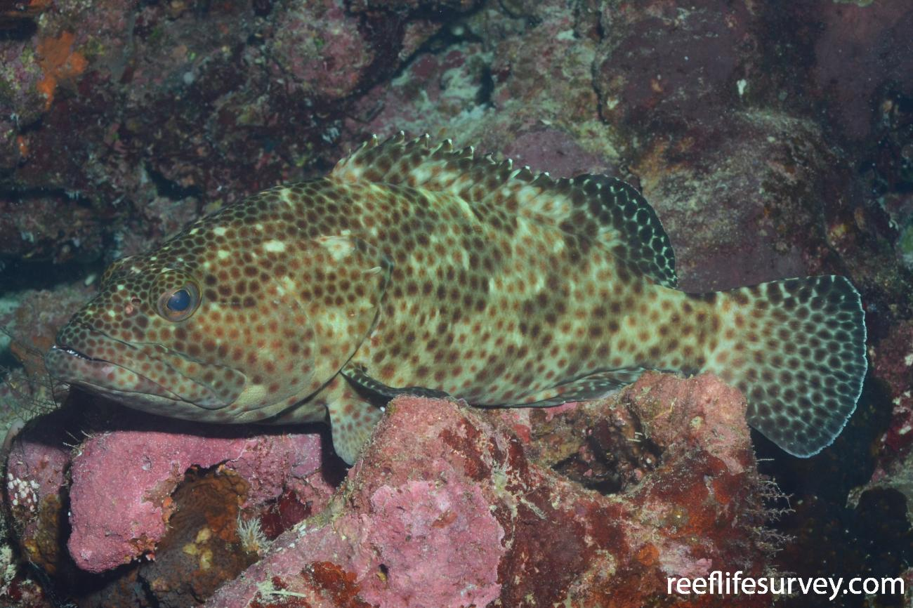 Epinephelus tauvina, Rowely Shoals, Northwest Shelf, Australia,  Photo: Graham Edgar