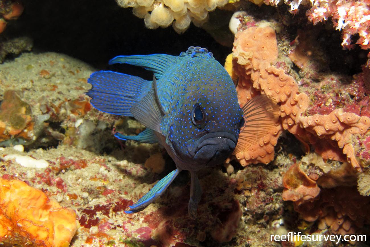 Paraplesiops meleagris, Adult, Port Phillip Bay, VIC.  Photo: Antonia Cooper