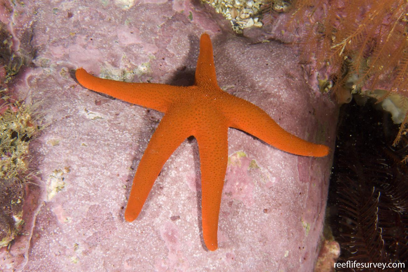 Fromia polypora, Port Macquarie, NSW,  Photo: Andrew Green