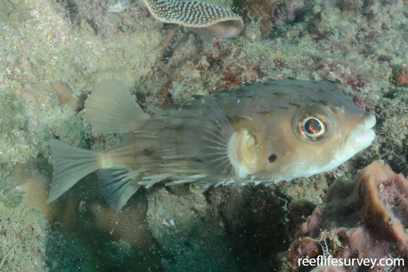 Tragulichthys jaculiferus, NT, Australia,  Photo: Graham Edgar