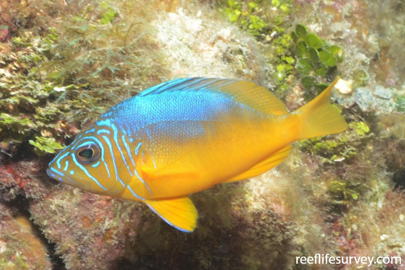 Hypoplectrus aberrans, Cayman Islands,  Photo: Graham Edgar