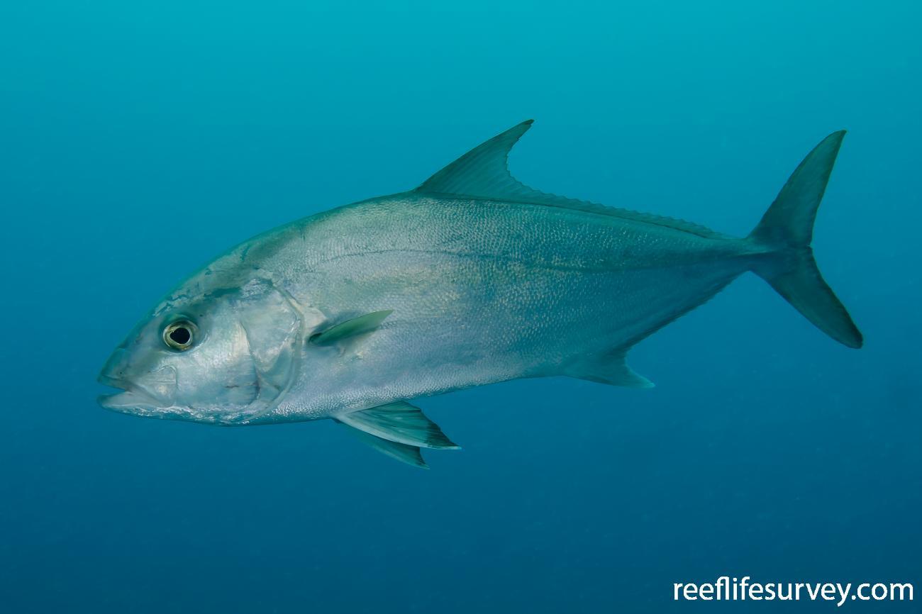 Seriola rivoliana, Adult, Middleton Reef, Australia,  Photo: Antonia Cooper