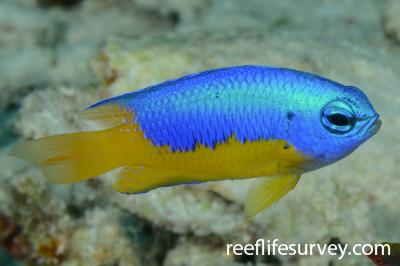 Pomacentrus auriventris: Raja Ampat, Indonesia,  Photo: Rick Stuart-Smith