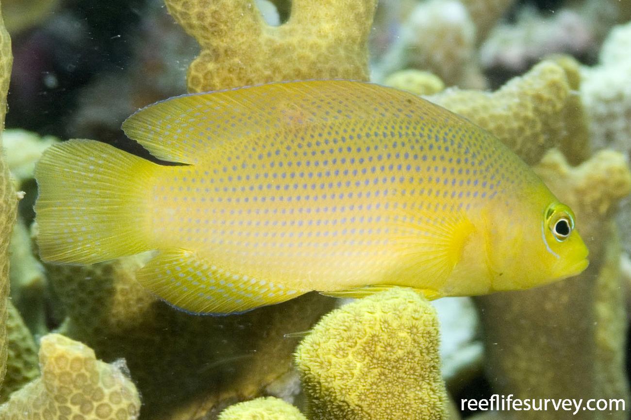 Pseudochromis fuscus, Torres Strait, QLD,  Photo: Andrew Green