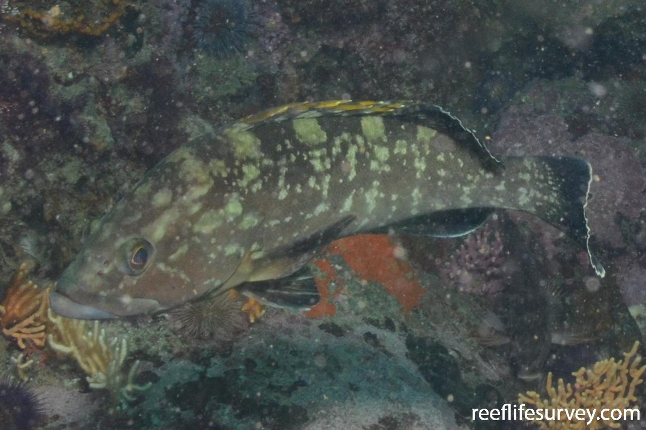 Epinephelus marginatus, Juvenile, Eastern Cape Province, South Africa,  Photo: Graham Edgar