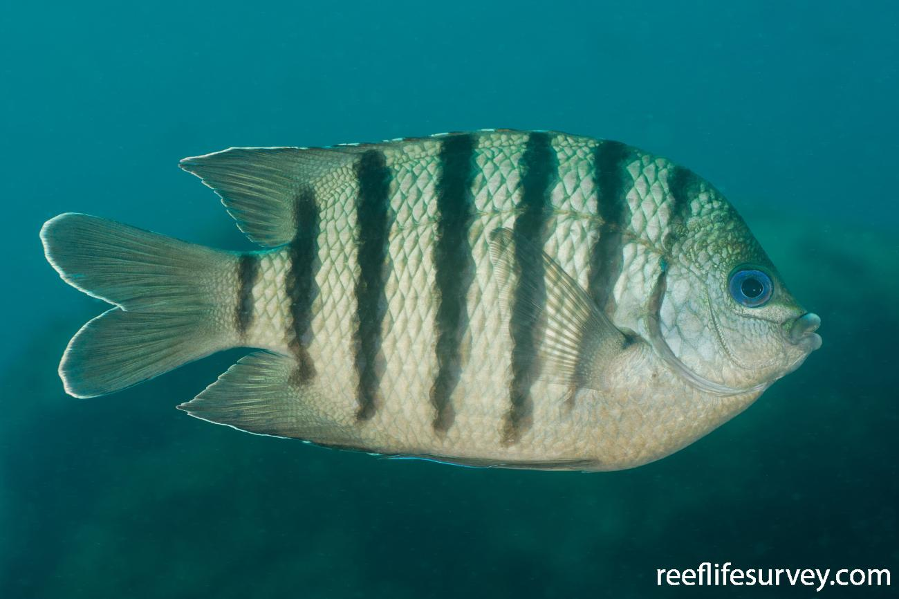 Abudefduf bengalensis, Adult, NSW, Australia,  Photo: Ian Shaw