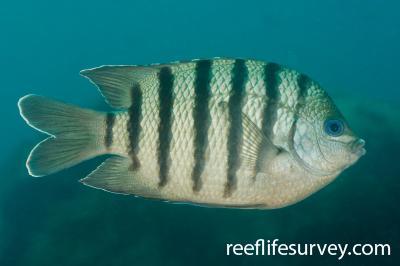 Abudefduf bengalensis: Adult, NSW, Australia,  Photo: Ian Shaw
