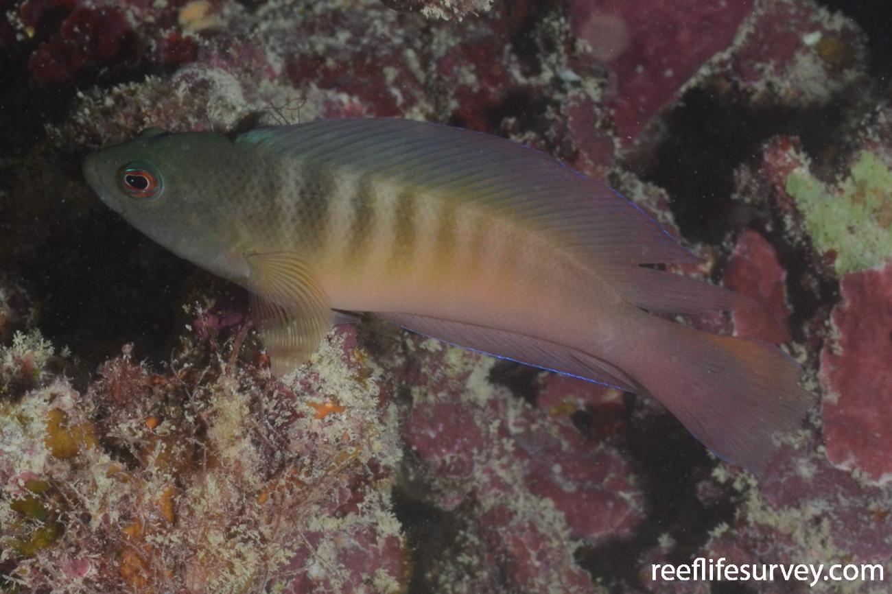 Ogilbyina queenslandiae, Southern Great Barrier Reef, Australia,  Photo: Graham Edgar