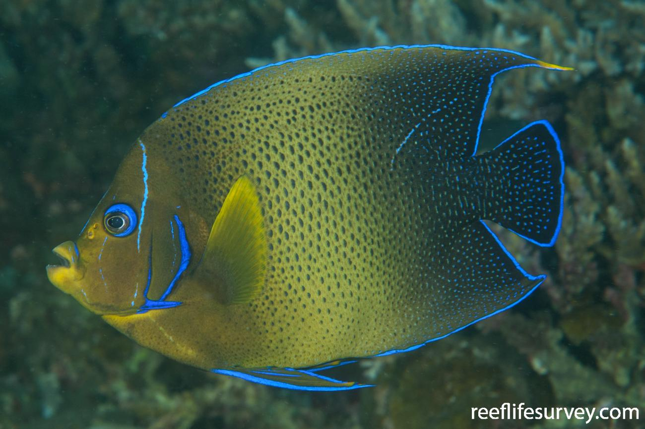 Pomacanthus semicirculatus, Adult, Bali, Indonesia,  Photo: Ian Shaw