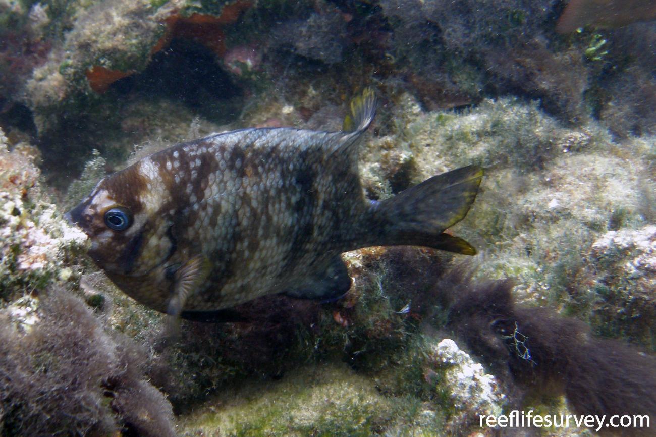 Parma polylepis, Norfolk Island,  Photo: Antonia Cooper