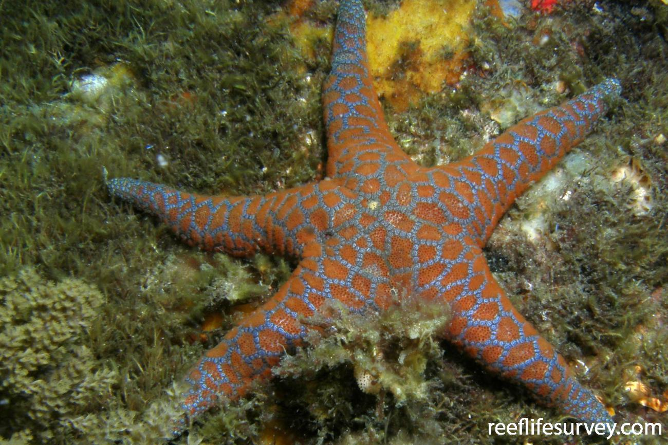 Plectaster decanus, Devonport, TAS,  Photo: Rick Stuart-Smith