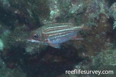 Sargocentron vexillarium: Bonaire,  Photo: Rick Stuart-Smith