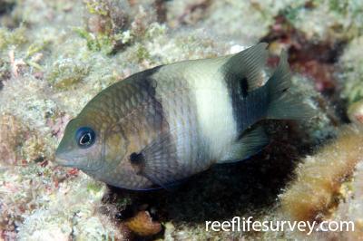 Stegastes albifasciatus: Marion Reef, Coral Sea,  Photo: Ian Shaw