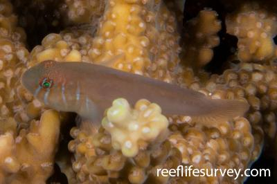 Gobiodon prolixus: Raja Ampat, Indonesia,  Photo: Rick Stuart-Smith