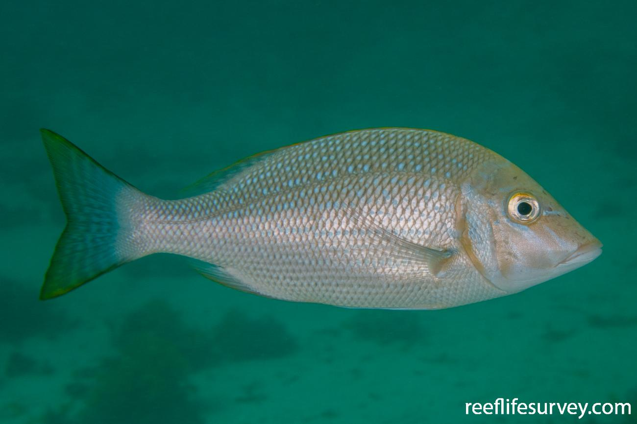 Lethrinus nebulosus,  Photo: Rick Stuart-Smith