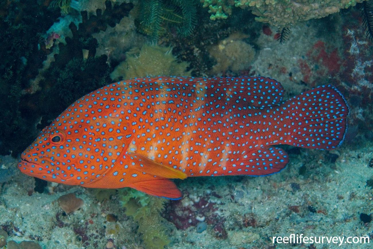 Cephalopholis miniata, Raja Ampat, Indonesia,  Photo: Andrew Green