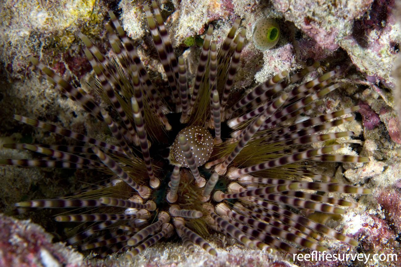 Echinothrix calamaris, Raja Ampat, Indonesia,  Photo: Andrew Green