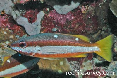 Lutjanus biguttatus: Adult, Pulau Besar, Flores, Indonesia,  Photo: Rick Stuart-Smith