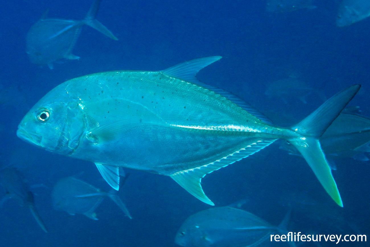 Caranx papuensis, Great Barrier Reef, Australia,  Photo: Graham Edgar