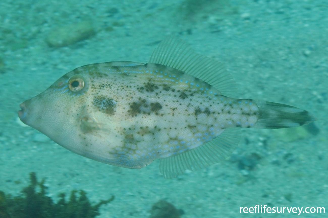 Scobinichthys granulatus, Jervis Bay, NSW,  Photo: Rick Stuart-Smith