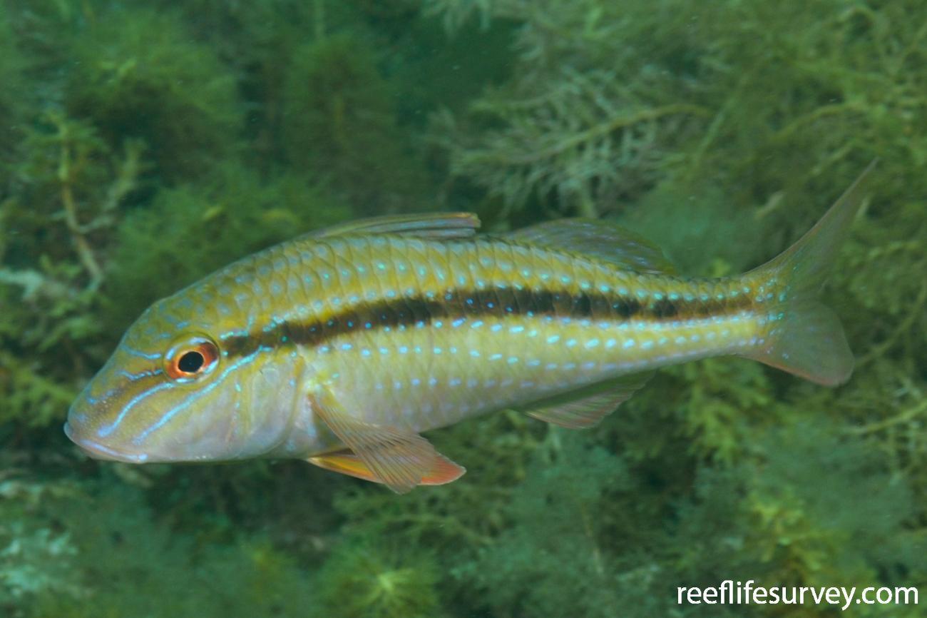 Upeneichthys vlamingii, Adelaide, SA,  Photo: Rick Stuart-Smith