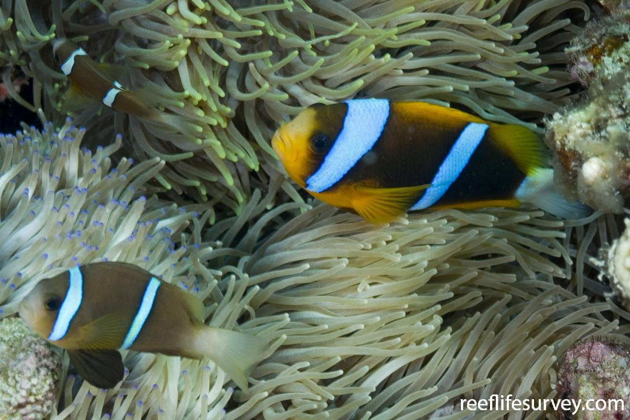 Amphiprion chrysopterus, Torres Strait, Qld, Australia,  Photo: Andrew Green