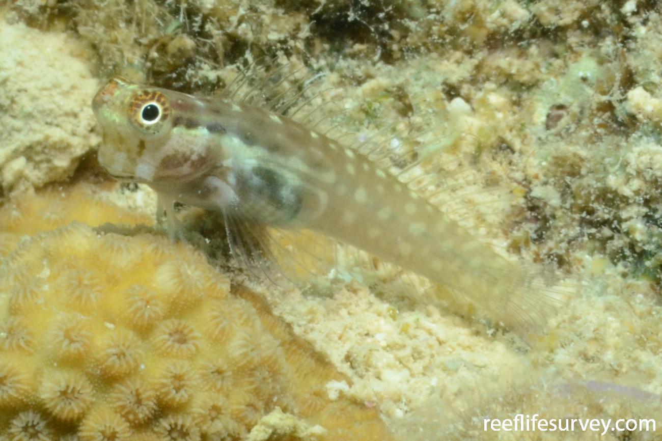 Ecsenius yaeyamaensis, Japan,  Photo: Graham Edgar