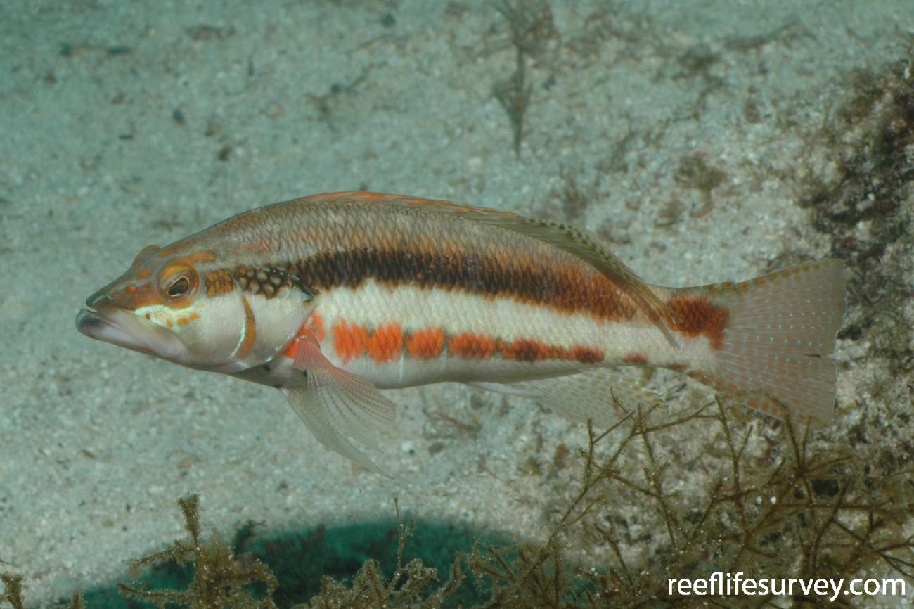 Serranus psittacinus, Adult, Galapagos Islands, Ecuador,  Photo: Graham Edgar