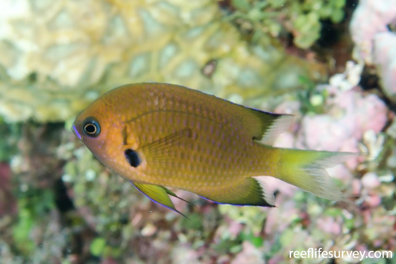Chromis agilis, Adult, Coral Sea,  Photo: Ian Shaw