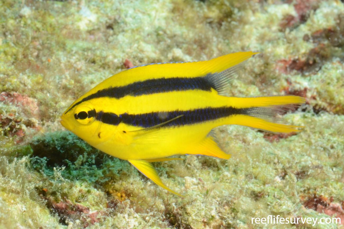 Neoglyphidodon nigroris, Juvenile, Cairns, Great Barrier Reef,  Photo: Joe Shields