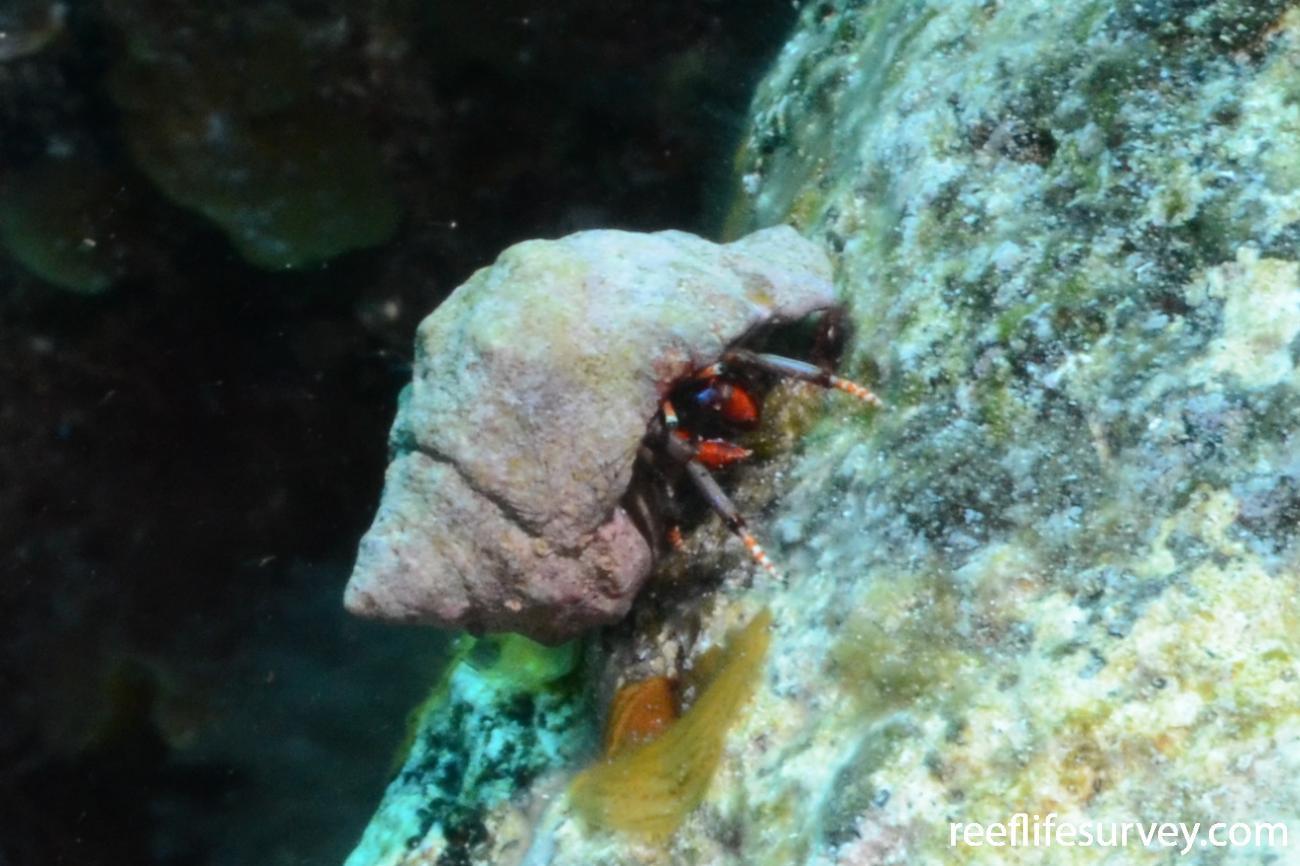 Calcinus tubularis, Canary Islands,  Photo: Graham Edgar