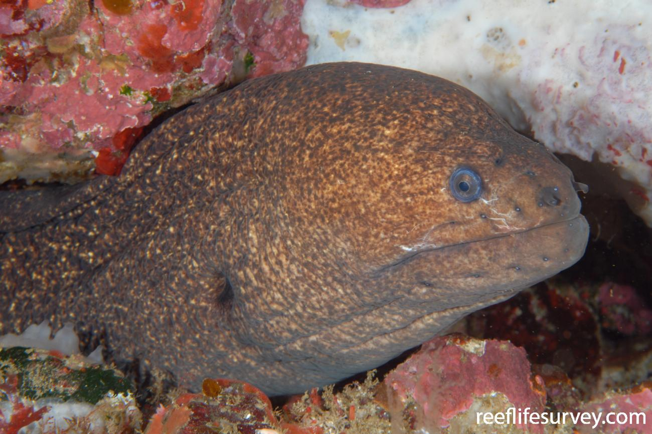 Gymnothorax porphyreus, Poor Knights Is, New Zealand,  Photo: Andrew Green