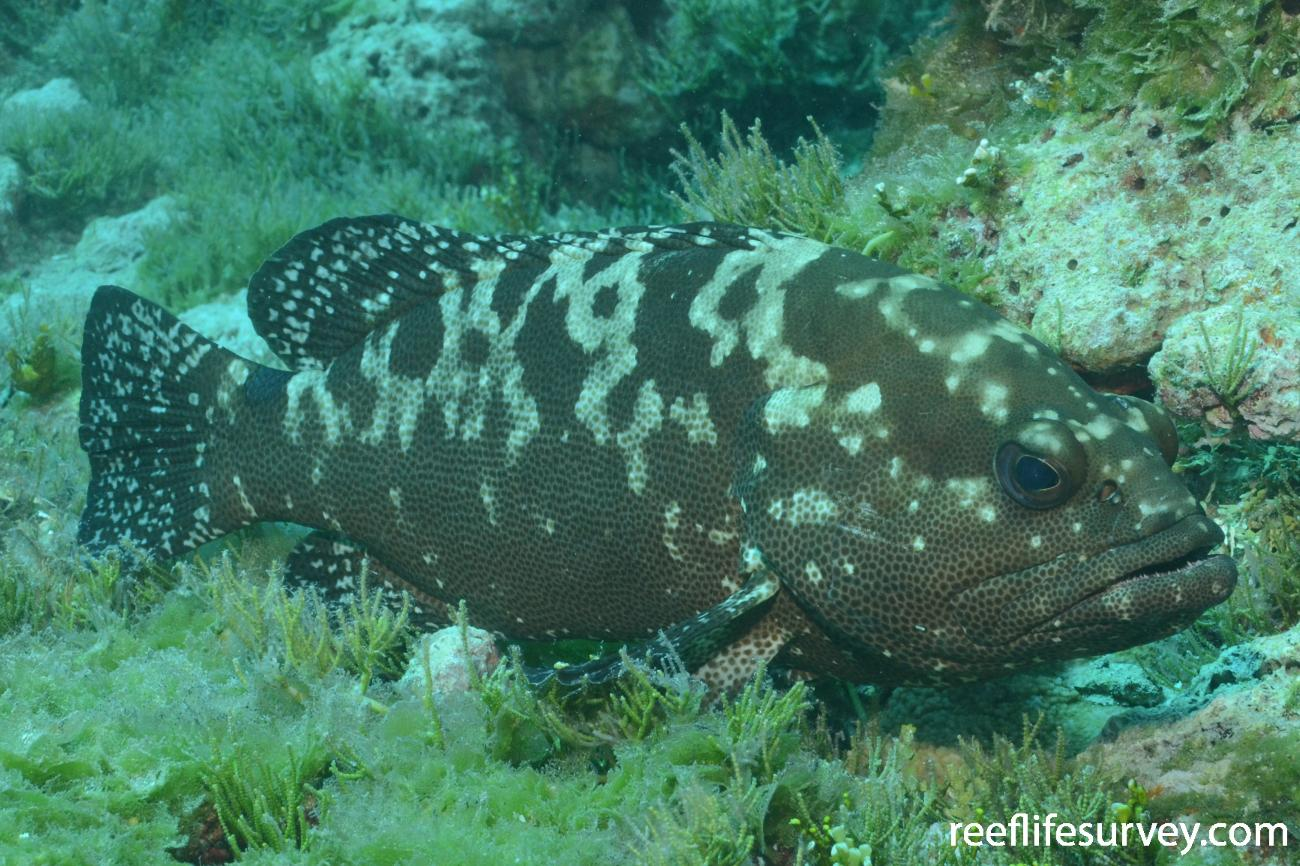 Epinephelus polyphekadion, Cook Islands,  Photo: Graham Edgar