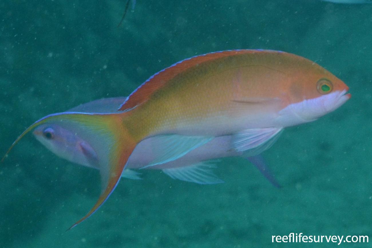 Pseudanthias mooreanus, Moorea,