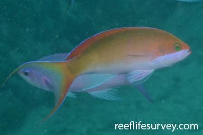Pseudanthias mooreanus: Moorea,