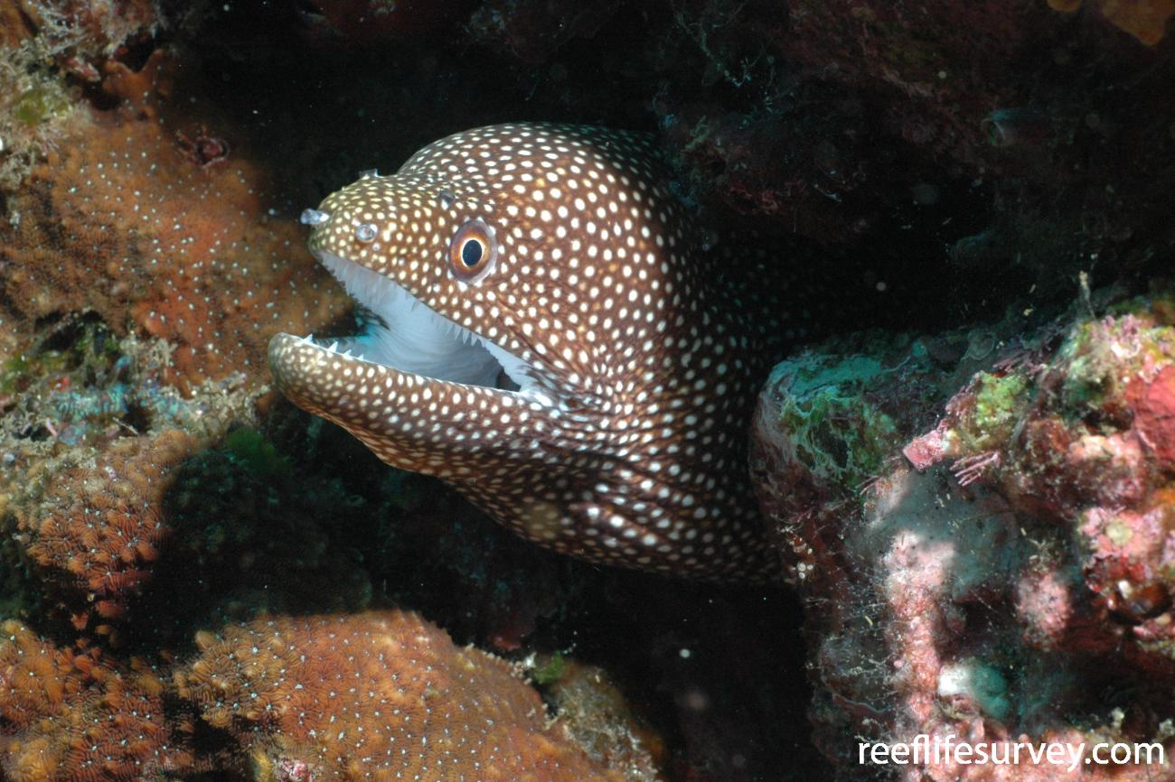 Gymnothorax meleagris, Cocos Island, Costa Rica,  Photo: Graham Edgar