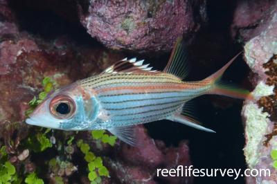 Neoniphon sammara: Mellish Reef, Coral Sea,  Photo: Rick Stuart-Smith
