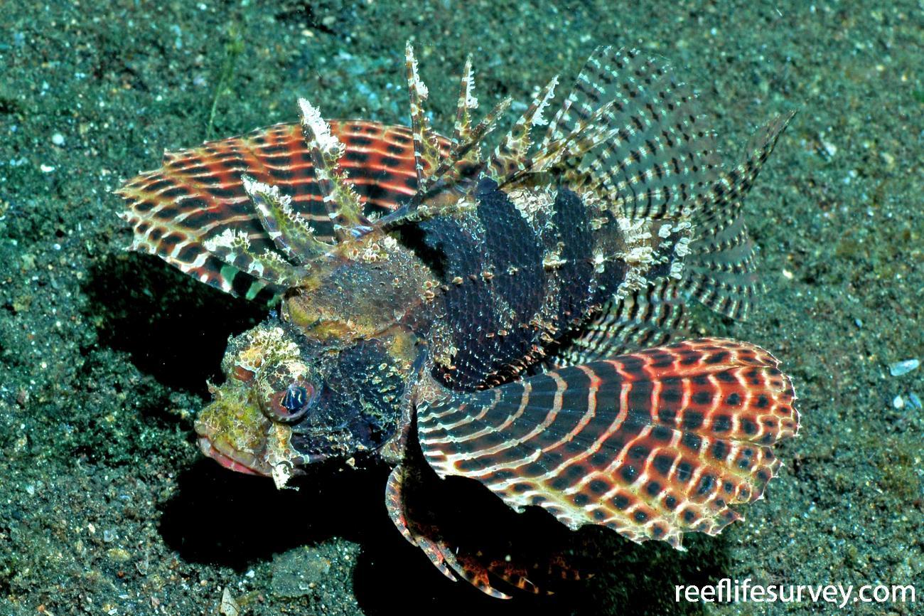 Dendrochirus brachypterus, Sulawesi, Indonesia,