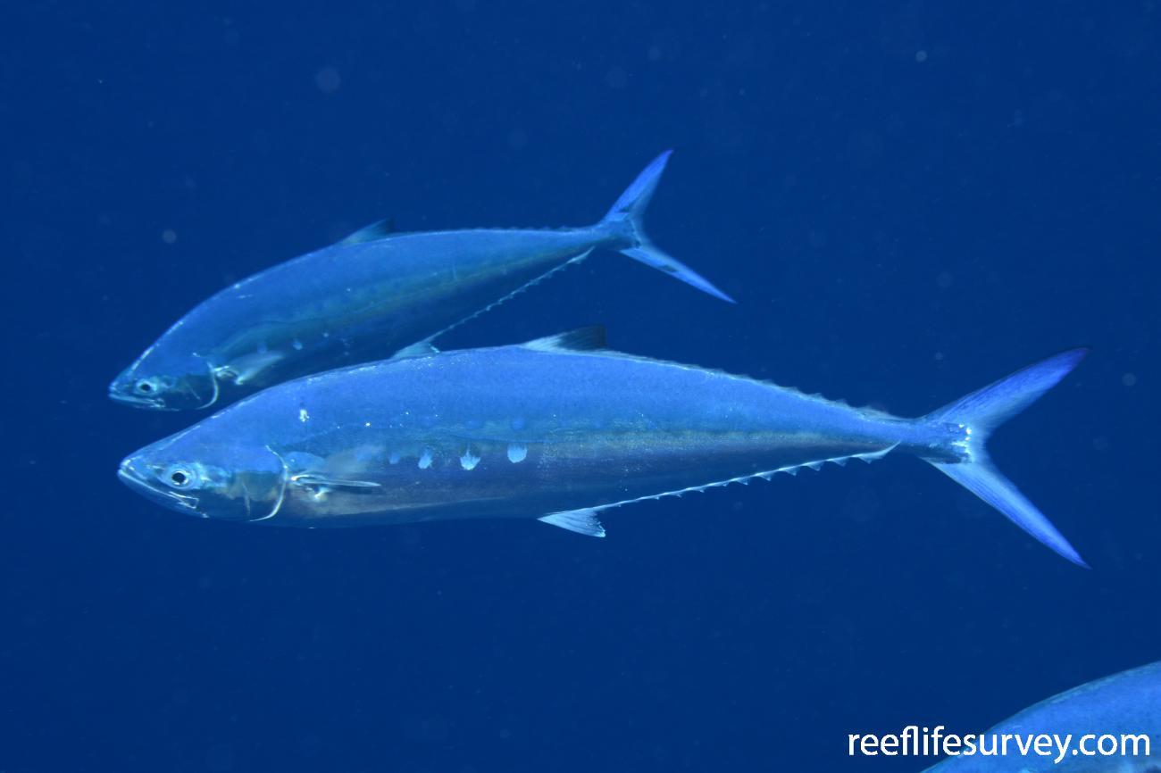 Scomberoides lysan, Mellish Reef, Coral Sea,  Photo: Graham Edgar