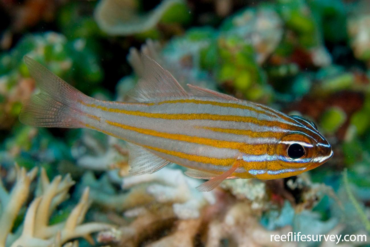 Ostorhinchus cyanosoma, Adult, Raja Ampat, Indonesia,  Photo: Andrew Green