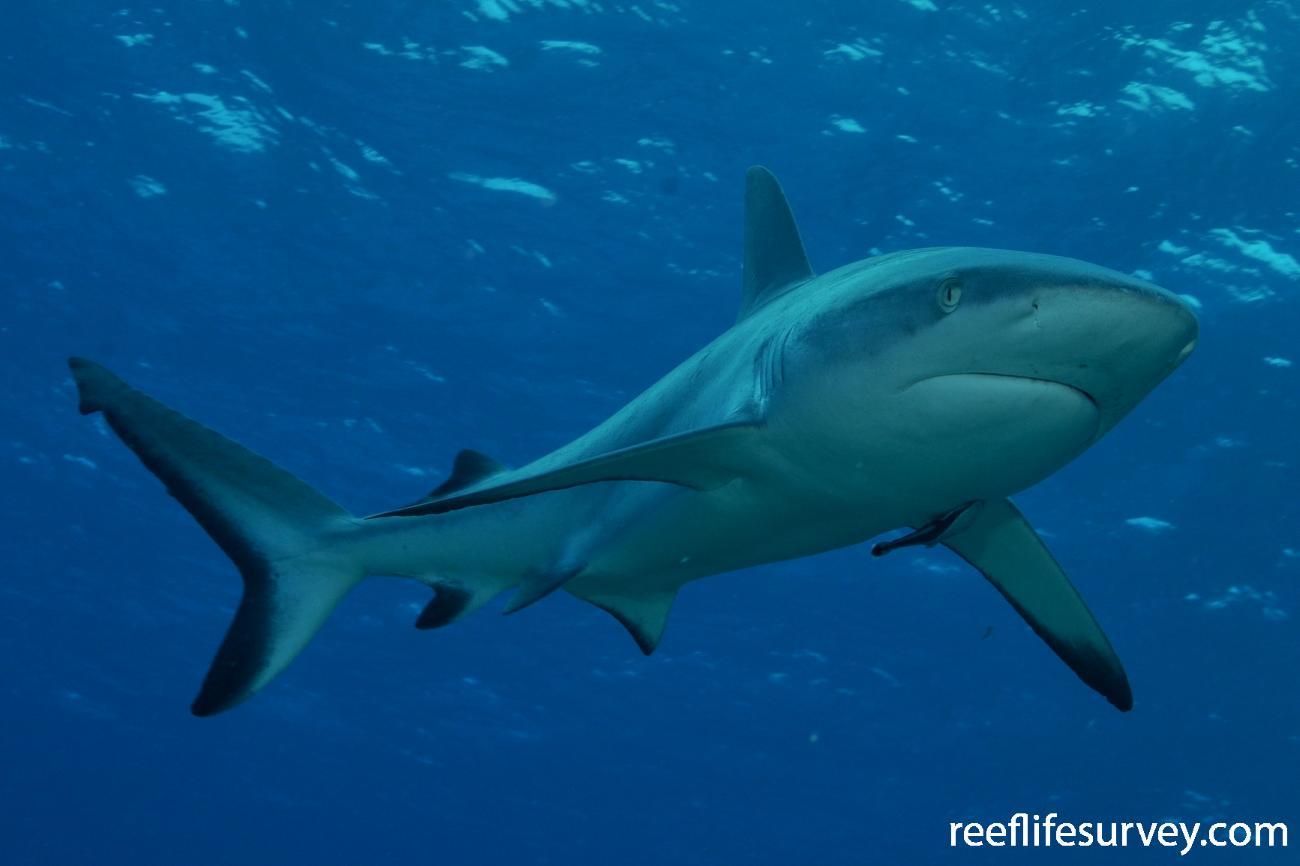 Carcharhinus amblyrhynchos, Herald Cays, Coral Sea,  Photo: Rick Stuart-Smith