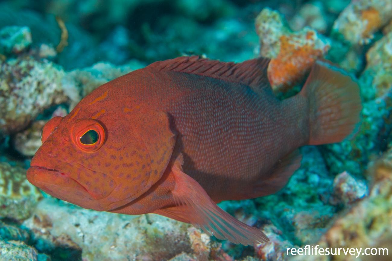Cephalopholis spiloparaea, Raja Ampat, Indonesia,  Photo: Rick Stuart-Smith