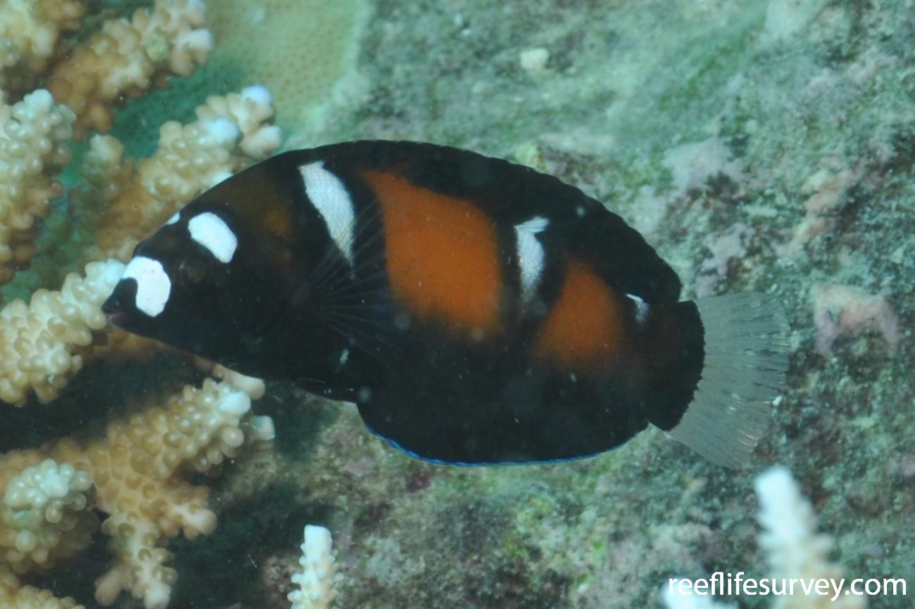 Coris formosa, Juvenile, Seychelles,  Photo: Rick Stuart-Smith