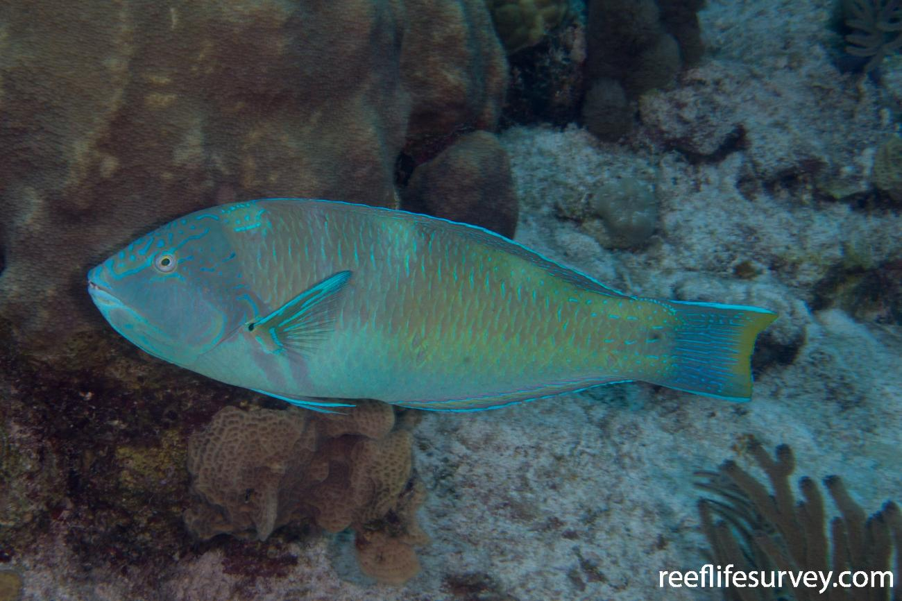 Halichoeres radiatus, Male, Turks & Caicos,  Photo: Rick Stuart-Smith