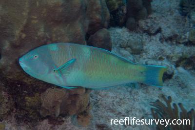 Halichoeres radiatus: Male, Turks & Caicos,  Photo: Rick Stuart-Smith
