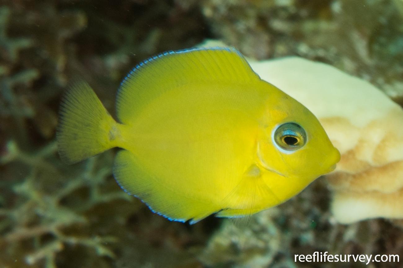 Acanthurus coeruleus, Belize,  Photo: Rick Stuart-Smith