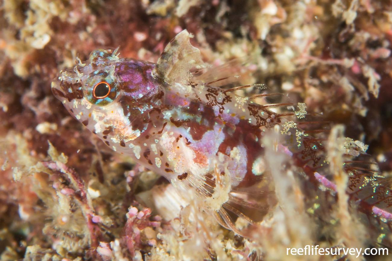 Malacoctenus tetranemus, Juvenile, Nicaragua,  Photo: Rick Stuart-Smith